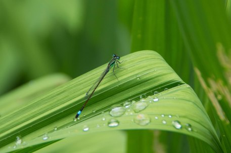 Libelle mit Regentropfen